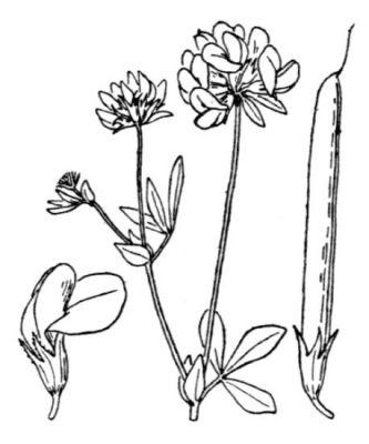 Lotus pedunculatus