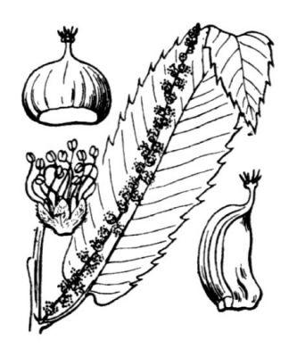 Pin coloriage feuilles chataigne gland champignon page 29 - Coloriage chataigne ...