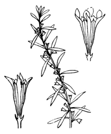 Lythrum thesioides M. Bieb.