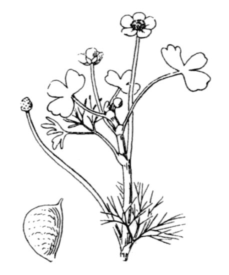 Ranunculus baudotii,