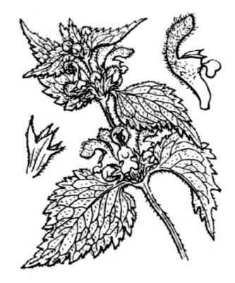 Lamium flexuosum Ten.
