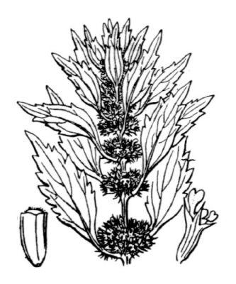 Chanvre d'eau ou Lycope d'Europe / Lycopus europaeus Normal_flora-france1540