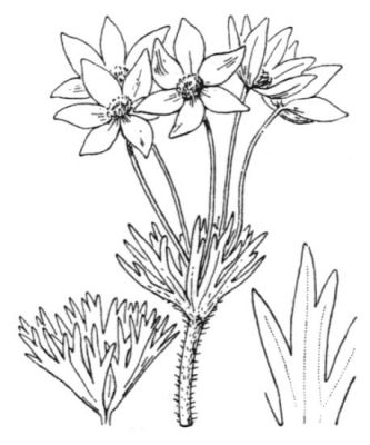 Anemone narcissifolia subsp. narcissifolia -