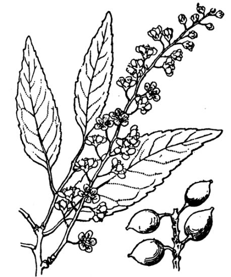 Prunus lusitanica subsp. lusitanica