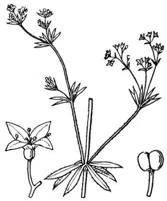 Galium uliginosum