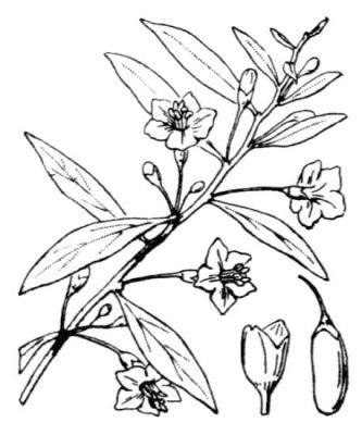 Lycium barbarum