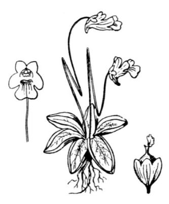 Pinguicula alpina -