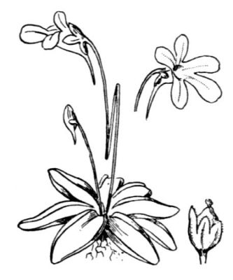 Pinguicula vulgaris -