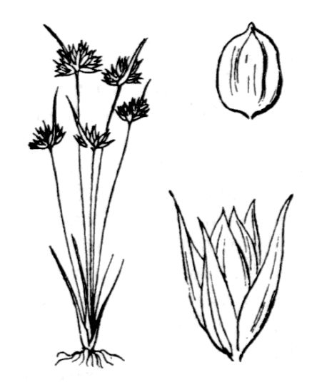 Juncus capitatus Weigel