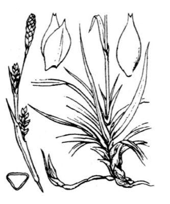 Carex vaginata