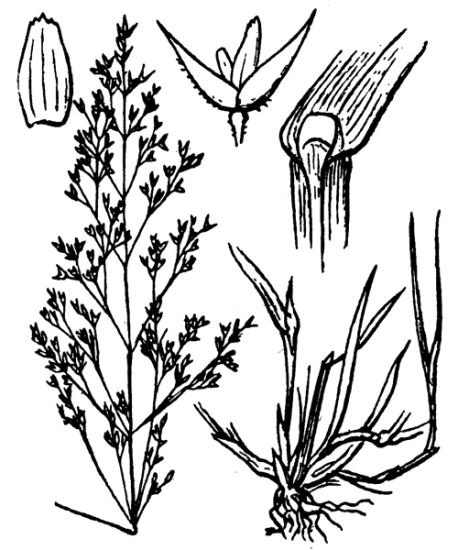 Agrostis capillaris subsp. capillaris