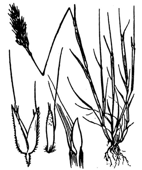Aira praecox,