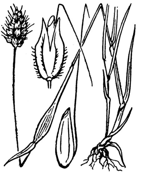 Alopecurus rendlei,