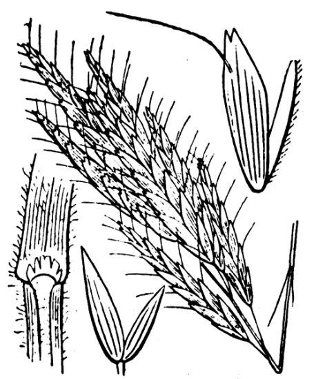 Bromus lanceolatus,