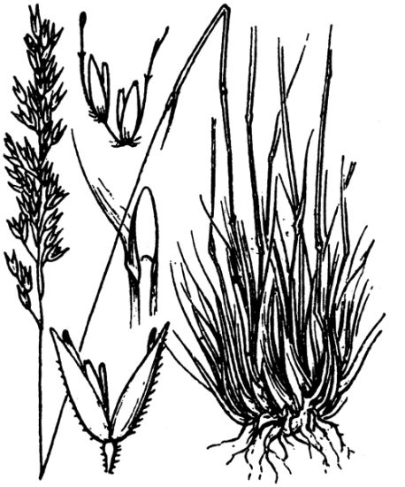 Corynephorus canescens,