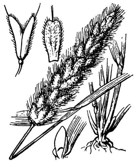 Polypogon monspeliensis,