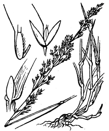 Agrostis capillaris subsp. castellana
