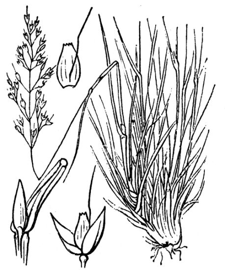 Agrostis rupestris All.
