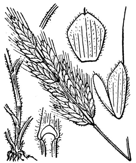 Bromus hordeaceus subsp. hordeaceus,