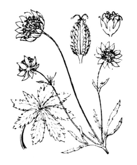 Astrantia minor L.