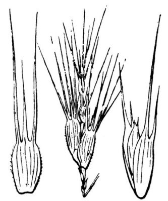 Aegilops neglecta -