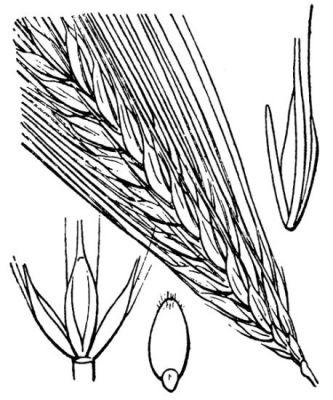 Hordeum vulgare