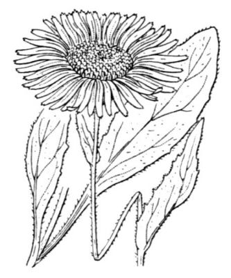 Doronicum clusii (All.) Tausch