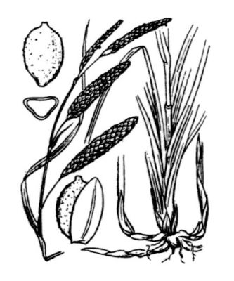 Carex flacca subsp. flacca -