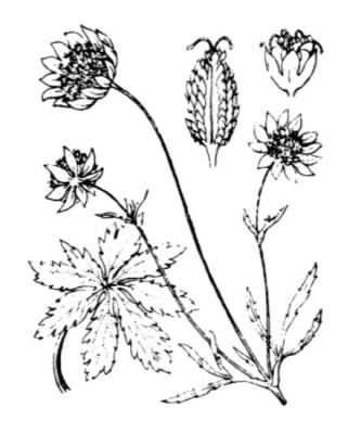 Astrantia minor -