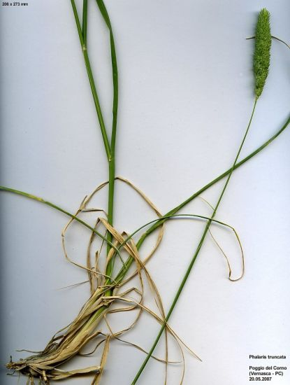 Phalaris truncata,