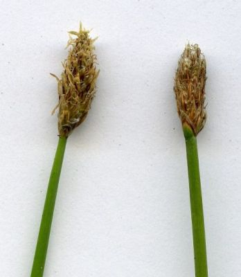 Eleocharis palustris -
