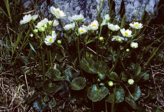 Ranunculus bilobus,