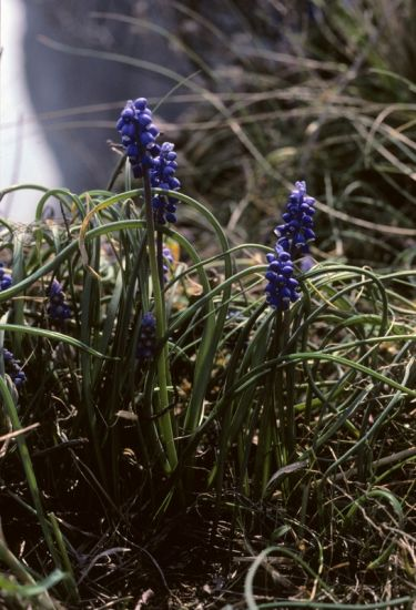 Muscari botryoides (L.) Mill.