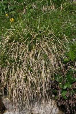 Carex sempervirens -