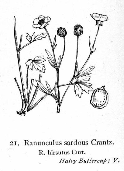Ranunculus hirsutus