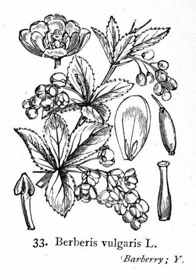 berberis berberis vulgaris