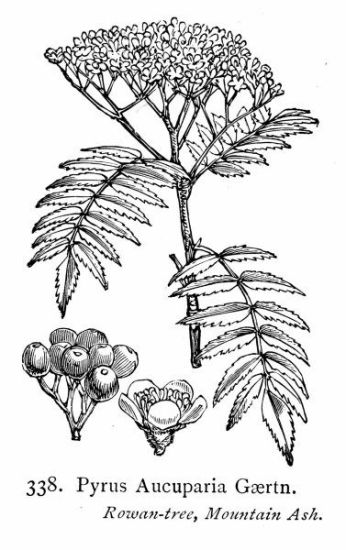 Pyrus aucuparia