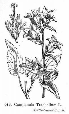 Campanula trachelium