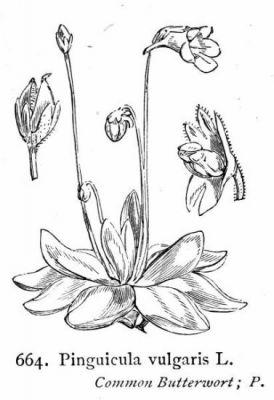 Pinguicula vulgaris
