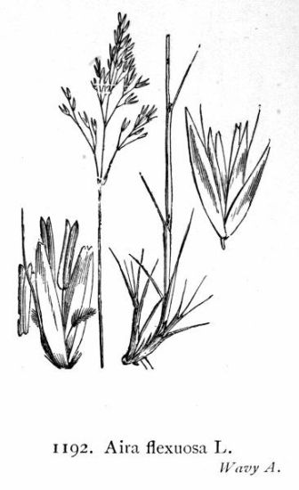 Aira flexuosa,
