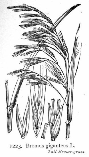 Bromus giganteus,