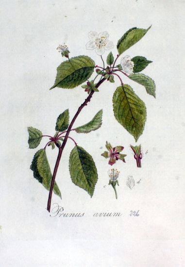 Prunus avium,
