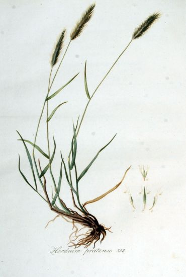 Hordeum pratense,