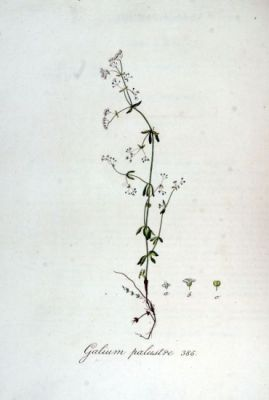 Galium palustre