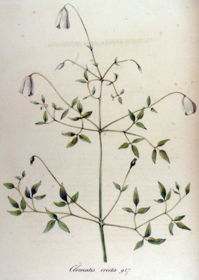 Clematis erecta