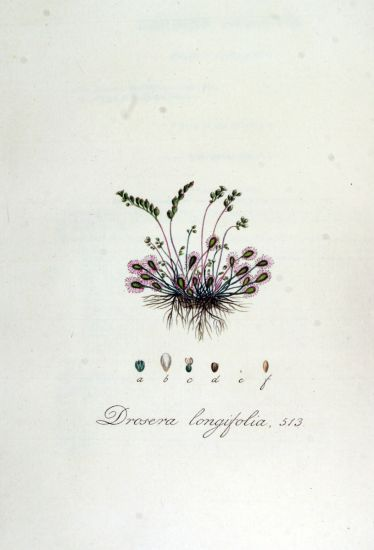 Drosera longifolia,