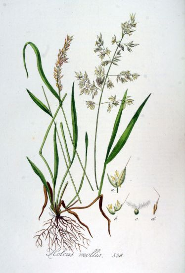 Holcus mollis,
