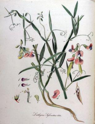Lathyrus sylvestris