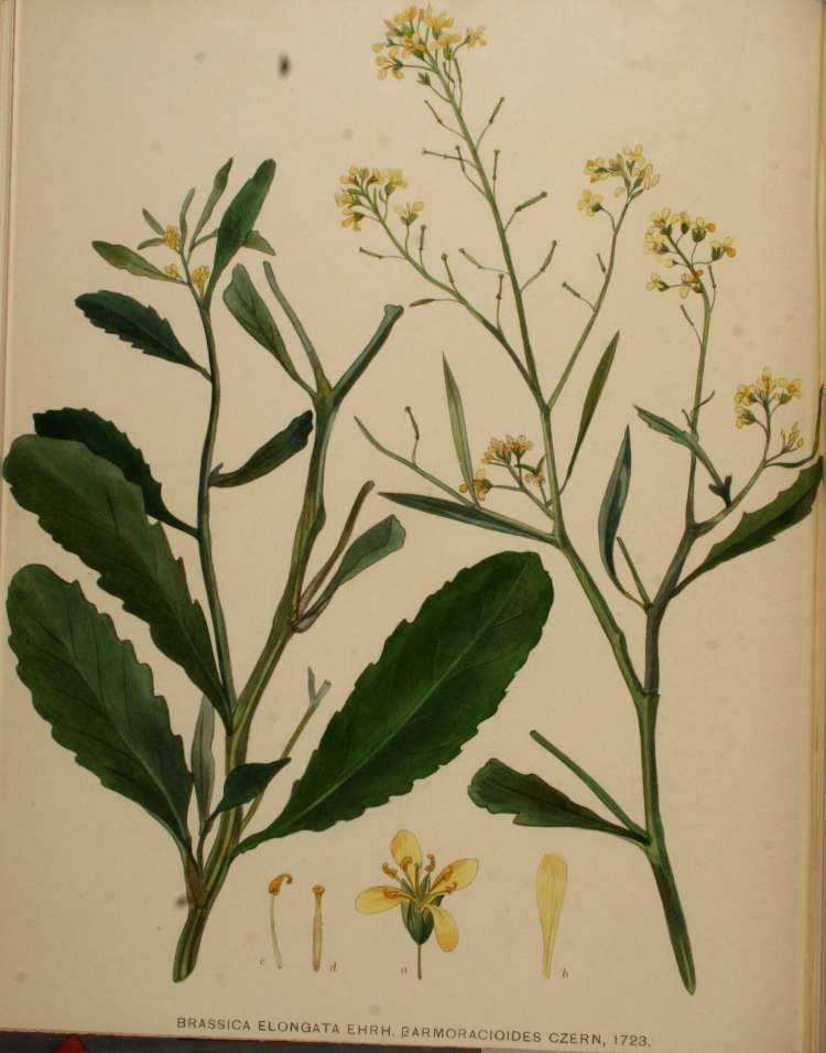 Brassica elongata,