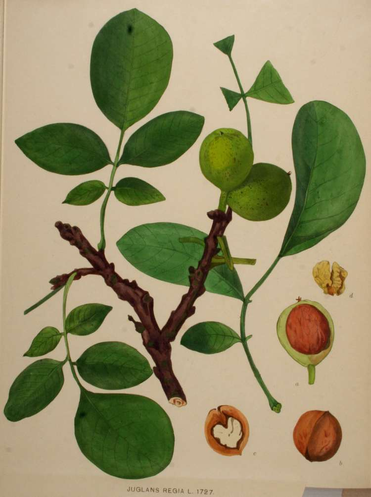 carpathian walnut tree images. Black Bedroom Furniture Sets. Home Design Ideas